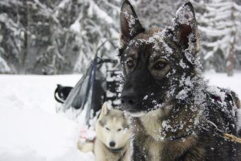 Professionnel des chiens de traineau