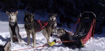 Conduite chiens de traineau dans le Vercors Mush and Rando
