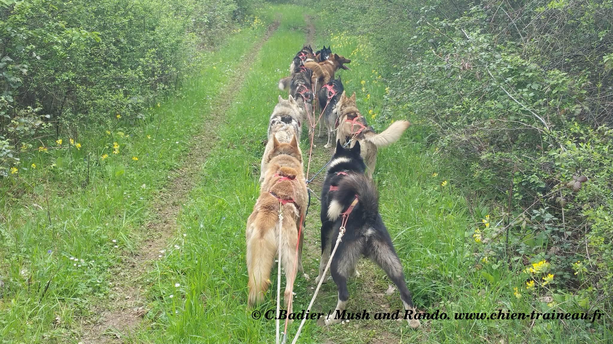préparation de mes chiens de traineau